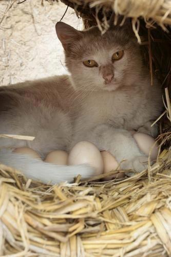 cat kitty on eggs mother